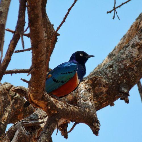 Very nice colors on this bird (Tanzania, Africa) Traveling Nature Animals Taking Photos Travel Birds Wildlife Africa EyeEm Nature Lover