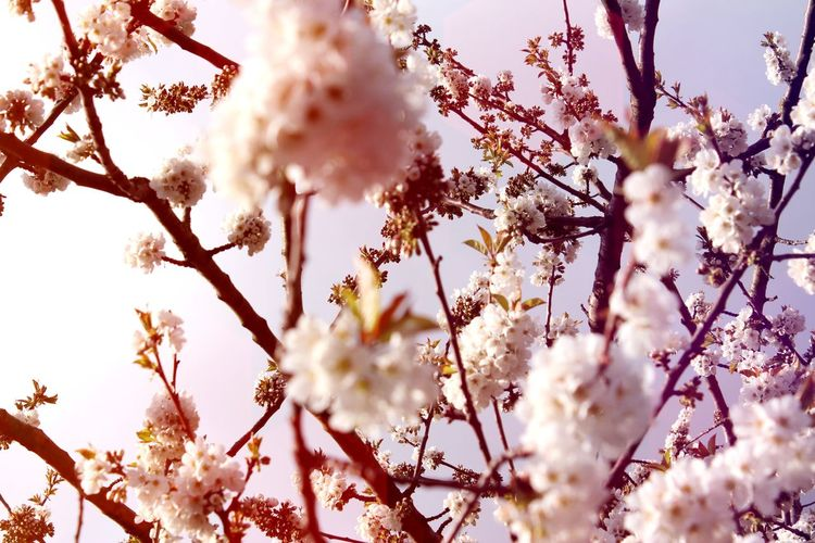 Close-Up Of Pink Cherry Blossoms Blooming Against Sky
