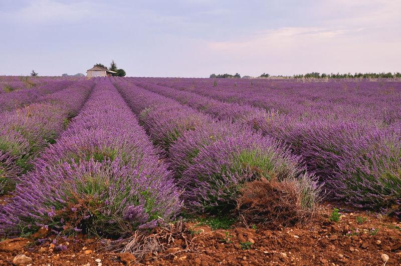 Lavender farm against sky on sunny day
