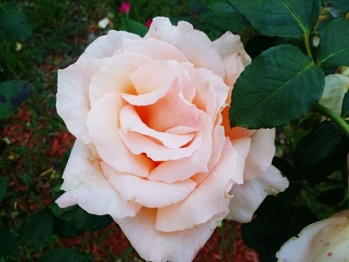 Outdoors Close-up Beauty In Nature Flower Nature Rose - Flower