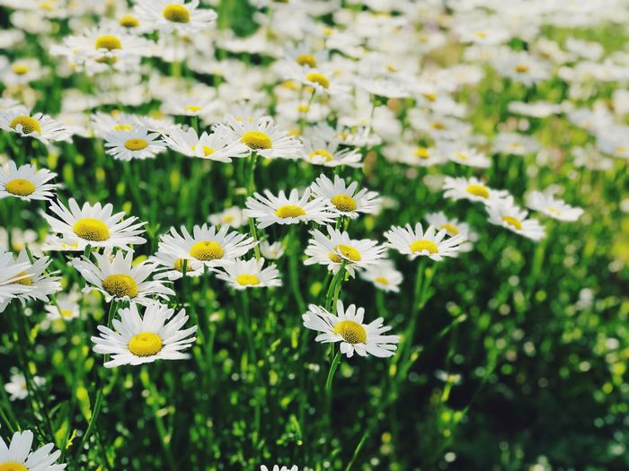 Flowers Collection  Beautiful Flowers Beautiful Nature Flower Flowering Plant Freshness Plant Fragility Beauty In Nature Vulnerability  Flower Head Petal Nature No People Daisy Growth White Color Day Focus On Foreground Botany