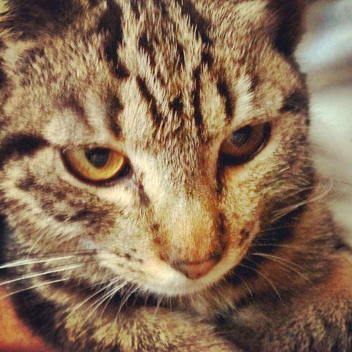 Stanislao STAN Cat Morning light eyes