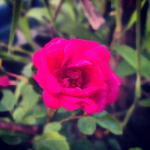 Flower_photos Flower Rosé Macro macro_lover supermacro petal naturegram vscocam vscoindia vscogrid vscopure igdaily ig_indiashots instaphotography instacolors htconeography htcones jj_global jj_macro jj_notforsquares_51 jabalpur