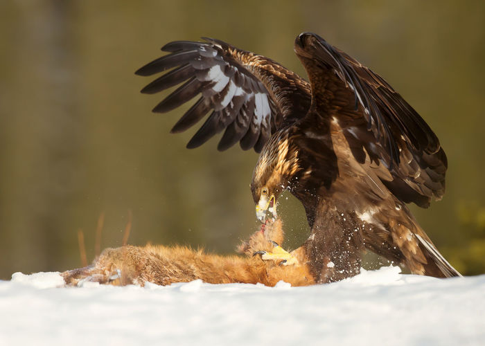 Golden eagle hunting on snow covered land during winter