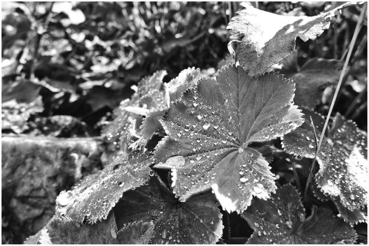 Botanical Garden | Flowers_collection Nature Water Leaf Beauty In Nature Close-up Outdoors Freshness Natur Flower Black And White Blackandwhite Photography Schwarz & Weiß Bnw_collection Flowers, Nature And Beauty Focus On Foreground Tau Dew Dew Drops