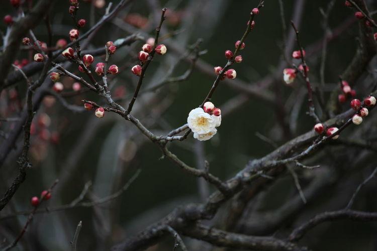 Flowers Japanese Plum Blossom Kumamoto Plum Spring Flowers 旧細川刑部邸 梅 熊本