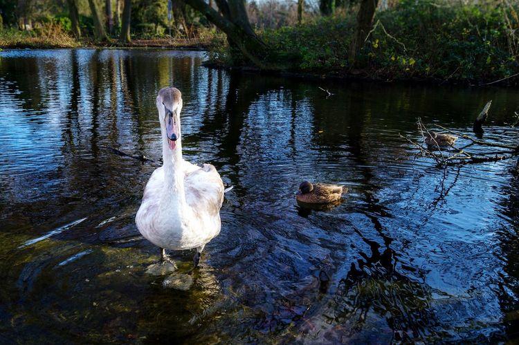 Swan Swanlake Schwan  Teich Agressive See Defender Defend Ducks Enten Ententeich