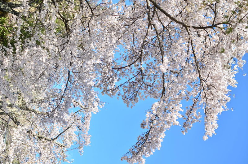 Sakura Beauty In Nature Blossom Blue Branch Cherry Blossom Cherry Tree Clear Sky Day Directly Below Flower Flowering Plant Fragility Growth Low Angle View Nature No People Outdoors Plant Sakura Blossom Sky Spring Springtime Tranquility Tree White Color