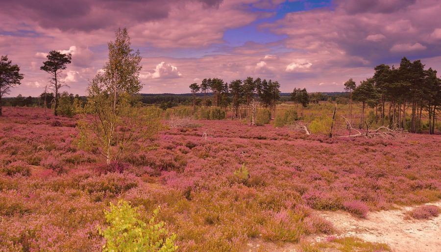 Atmospheric Sky Beauty In Nature Cloud Cloud - Sky Growth Heathers Heathland  Landscape Landscape Photography Landscape_Collection Landscape_photography Landscapes Nature Purple Carpet Of Heather Scenics Sky Tranquil Scene Tranquility Tree