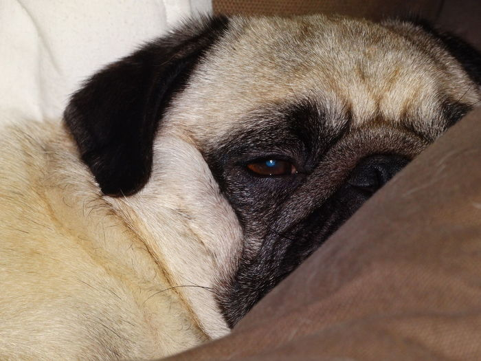 Portrait Of Pug On Sofa
