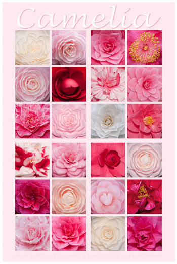 Camelias Arrangement Beauty In Nature Camelia Flower Choice Close-up Digital Composite Flower Flower Arrangement Flower Head Flowering Plant For Sale Freshness Full Frame In A Row Indoors  Large Group Of Objects Multi Colored No People Pattern Pink Color Rosé Rose - Flower Still Life Variation