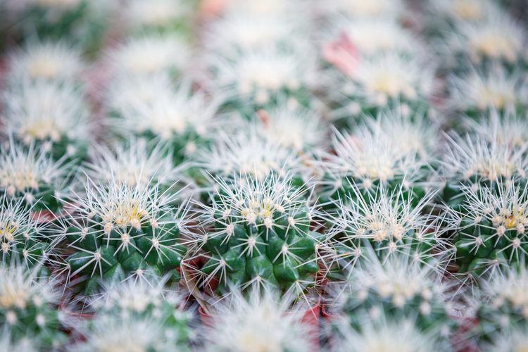 Full frame shot of cactus plants on field