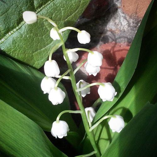 омск сибирскоелето сибирь ландыш цветок  Omsk Siberiansummer Siberia Flower May_lily