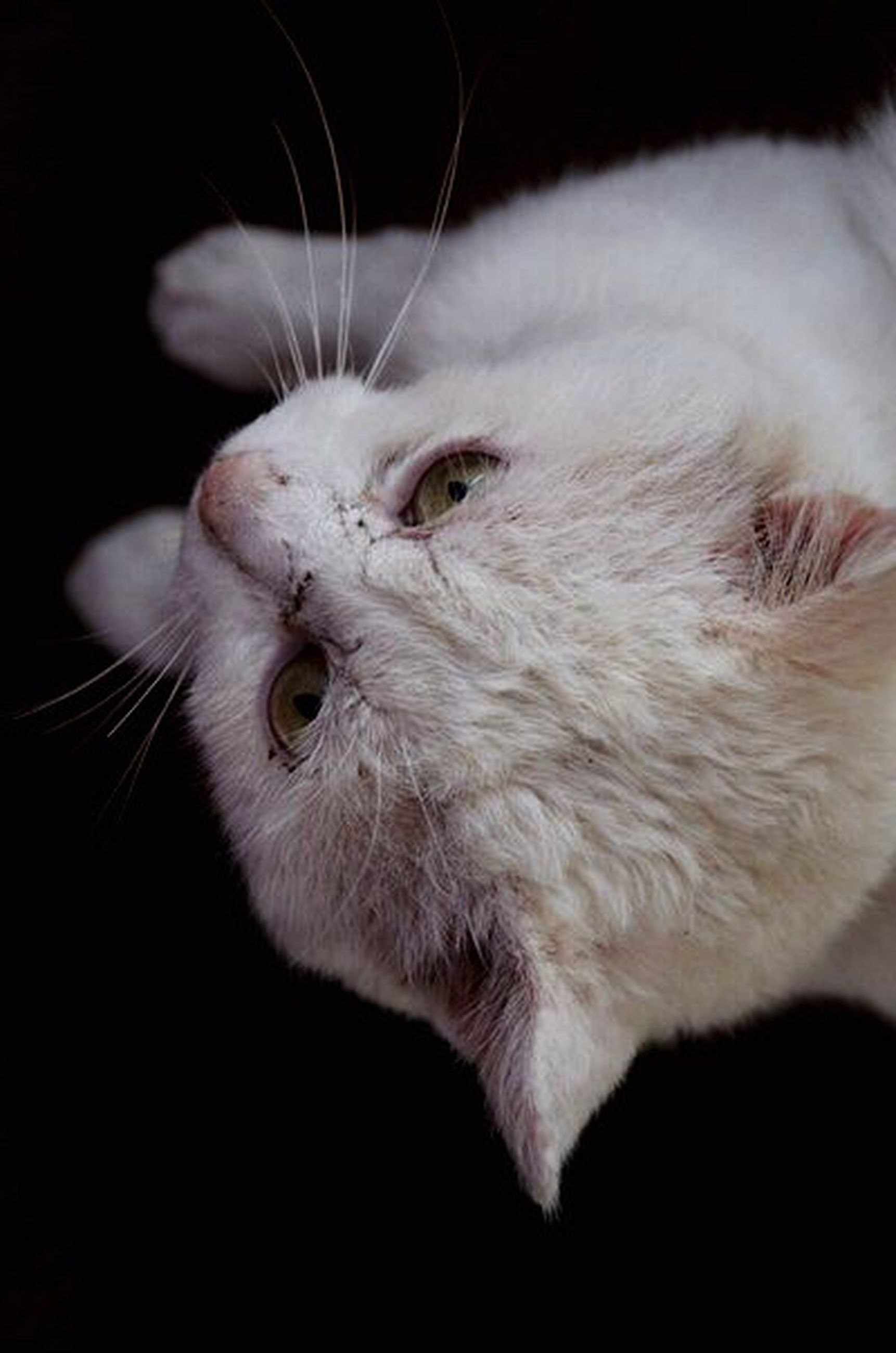 one animal, animal themes, domestic cat, pets, cat, domestic animals, black background, feline, mammal, indoors, white color, close-up, whisker, studio shot, animal head, relaxation, white, animal, looking away, zoology