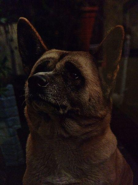 I Love My Dog Westmidlandssafaripark Westmidlandssafari Dog❤ Akita