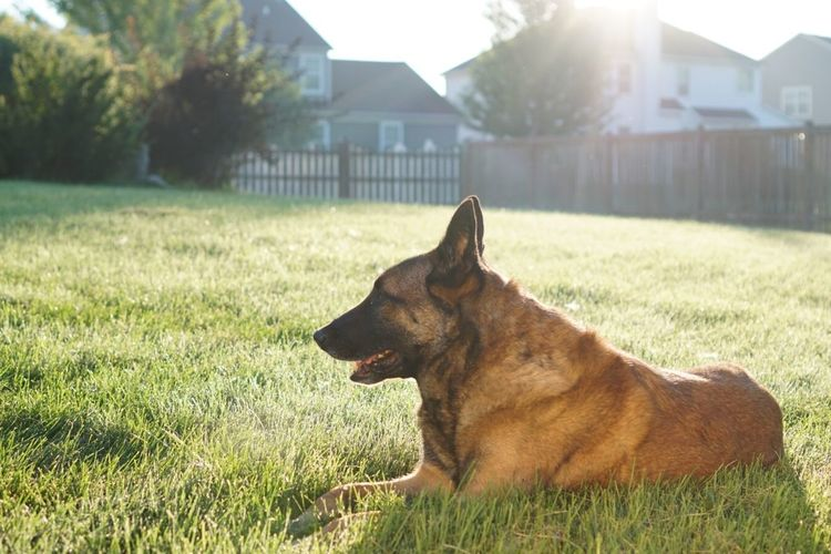 Belgian malinois resting on grassy field on sunny day
