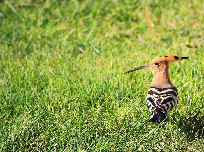 Hoopoe Perching On Grassy Field On Sunny Day