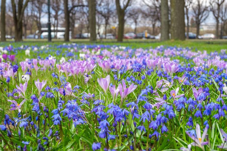Purple crocus flowers in field