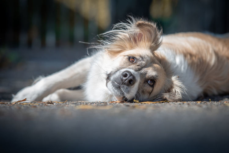 Portrait of dog lying on street