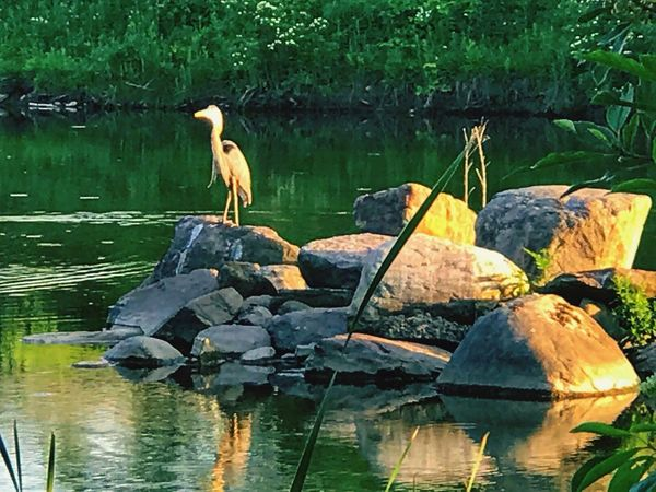 1 is the loneliness Water Animals In The Wild Animal Themes Lake Reflection Rock - Object One Animal Bird Waterfront Animal Wildlife Day Heron Nature Perching Outdoors No People Gray Heron Beauty In Nature