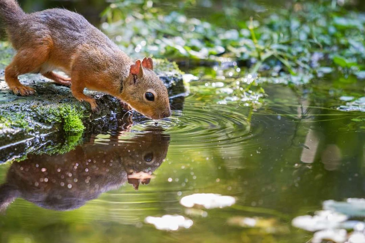 animals in the wild, animal themes, water, animal wildlife, one animal, no people, day, outdoors, squirrel, nature, focus on foreground, mammal, lake, close-up, eating