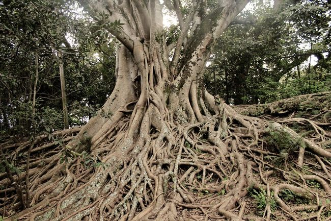 Beauty In Nature Branch Day Forest Growth Nature No People Outdoors Roots Of Life Roots Of Tree Tranquility Tree Tree Trunk