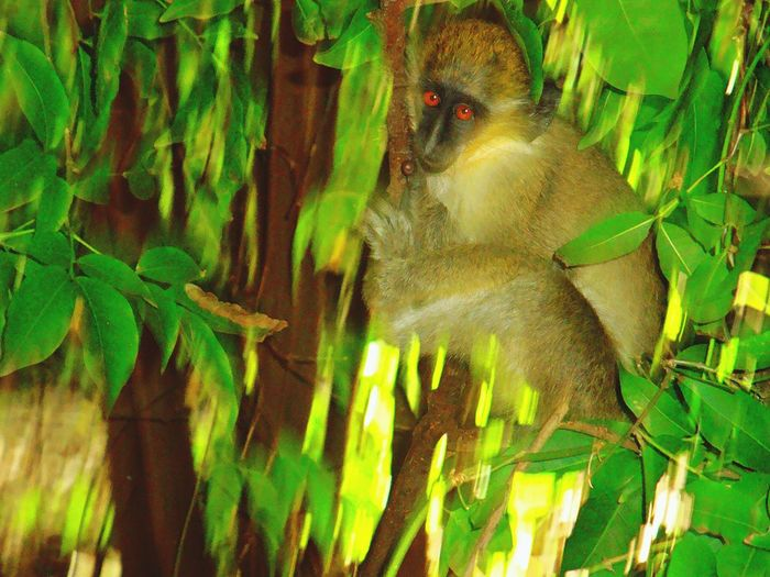 Animal Themes One Animal Animals In The Wild Leaf No People Green Color Monkey Tree Plant Close-up Nature View Ape Wildlife & Nature