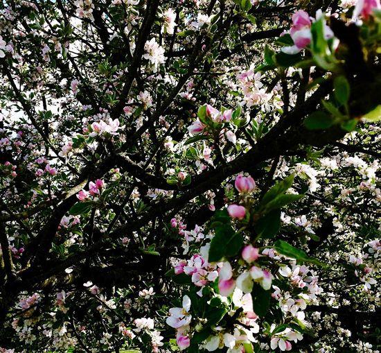 Tree Springtime Beauty In Nature Nature Apple Blossom Botany