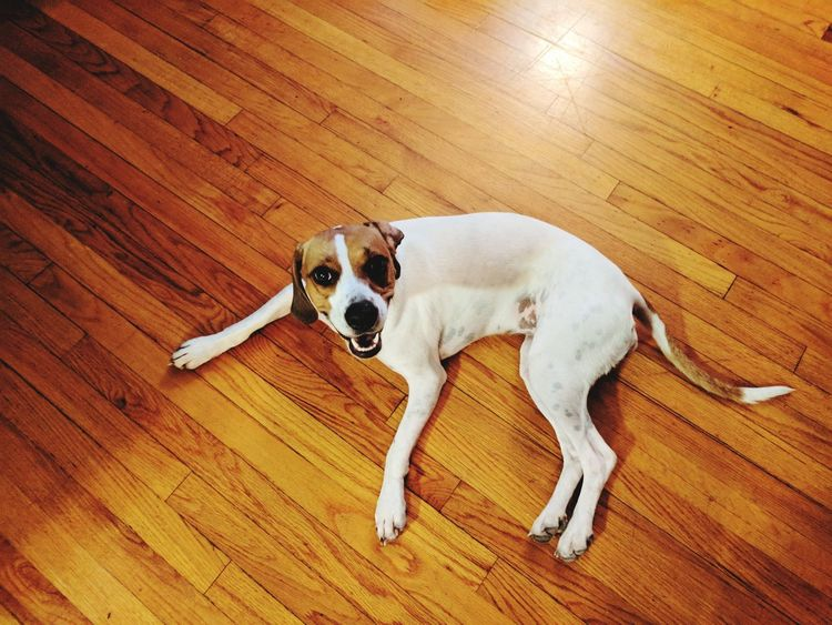 EyeEm Selects Dog Pets Lying Down High Angle View Domestic Animals Hardwood Floor One Animal Indoors  Resting Looking At Camera Portrait Mammal No People Animal Themes Beagle Day