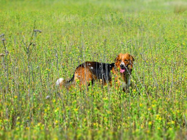 Grass Animal Themes Dog Pets Mammal Domestic Animals One Animal Green Color Field Growth Outdoors No People Nature Portrait Day 3XSPUnity Flowers, Nature And Beauty Kansasoutdoors Kansas Dogs Of EyeEm Pet Photography  English Shepherds Dogslife Outdoor Dog I Love My Dog