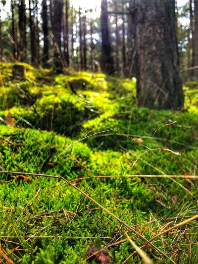Spring Plant Land Forest Tree Growth Tree Trunk Trunk Nature Tranquility Green Color No People Focus On Foreground Beauty In Nature Day Grass Tranquil Scene WoodLand Outdoors Moss Scenics - Nature Trail Grass Green Color Backgrounds Nature Sun