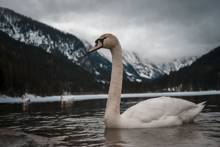 Swan swimming in lake