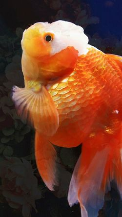 獅頭金魚 🐠 Fish Close-up Water Orange Color Animal Head -1022. Silhouette First Eyeem Photo Nature Animal Head  Animal Pets Amimals Low Angle View No People Day Animals One Animal The Week Of Eyeem Looking At Camera Natural Beauty Taking Photos Memories Freshness Animal Head  EyeEmNewHere Carnival Crowds And Details