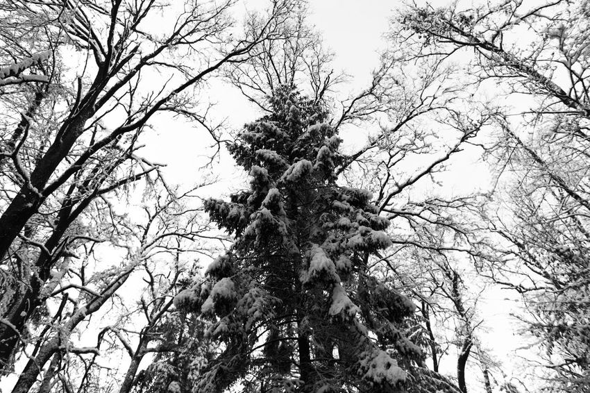 Beauty In Nature Beauty In Nature Branch Canada Christmas Christmas Tree Forrest Growth Ice Low Angle View Nature Nature Norway Sky Snow Snow On The Ground Snow On Trees Snow ❄ Snowing Tree Winter Winter Forrest Winter Nature Winter Nature Outside Wintertime