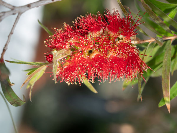 Crimson red Callistemon Citrinus flowering shrub, an Australian native plant commonly known as bottlebrush Callistemon Citrinus Beauty In Nature Close-up Day Flower Flower Head Flowering Plant Focus On Foreground Food And Drink Fragility Freshness Growth Leaf Nature No People Outdoors Petal Plant Plant Part Pollen Red Selective Focus Vulnerability