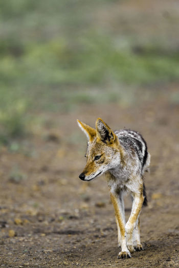 Close-up of black-backed jackal looking away while walking on land