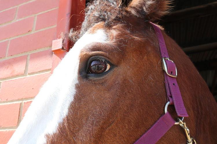 EyeEm Selects Portrait Brown Horse Close-up Stable Working Animal Animal Pen Animal Body Part Mane Animal Eye Bridle Herbivorous Horseback Riding