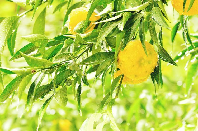 Leaf Green Color Close-up Fruit Nature Yellow Citrus Fruit No People Freshness Tree Beauty In Nature Day Growth Outdoors Healthy Eating Food Eyeem Select Beauty In Nature Mandarin Oranges Mandarine Fruitporn Freshness Mandarin Tree