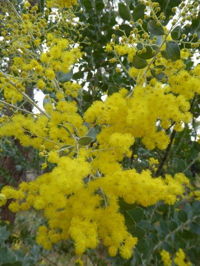Australian Flowers Beauty In Nature Close-up Flower Fragility Tree Wattle Flower Yellow