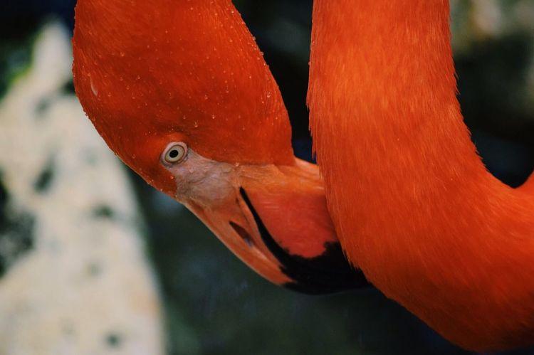 Flamingo Pink Zoo Zoophotography Animals Dallas Nikon Nikonphotography