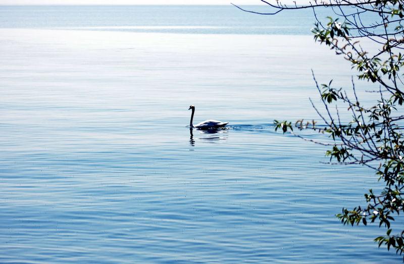 A swan swimming