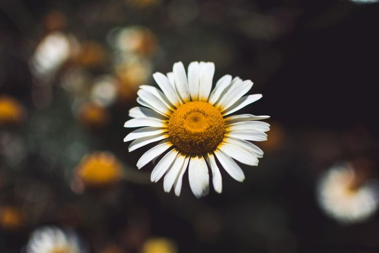 That time... Backgrounds Flower Flowering Plant Vulnerability  Freshness Fragility Petal Flower Head Beauty In Nature Close-up Growth Plant Focus On Foreground Nature Daisy White Color Yellow Pollen Day No People