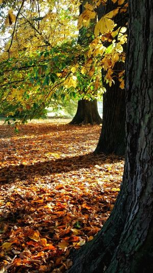 'October Sun' (2 of ?) October Day Tree Sunlight Beauty In Nature Autumn Colors Autumn🍁🍁🍁 Autumn Leaves Eye4photography  EyeEm Best Shots Autumn Collection Colour Explosion Sunlight Through Trees October Eyeem Market Autumn EyeEm Nature Lover EyeEm Masterclass Exceptional Photographs Colourful England 🌹 Cotswolds Fall Beauty Tadaa Community Gloucestershire Sunlight Through The Trees