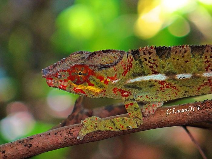 Reptile Animals In The Wild One Animal Animal Themes Green Color Focus On Foreground Animal Wildlife Day Close-up Branch No People Outdoors Chameleon Nature Tree