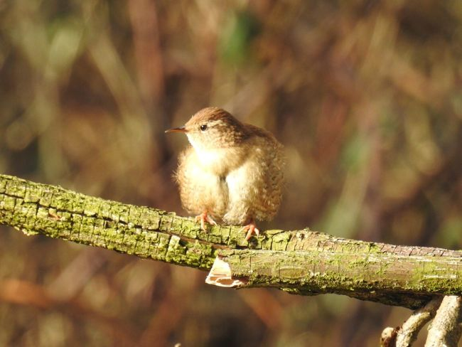 Bird Wrens One Animal Nature No People Outdoors Close-up Not Cropped Beauty In Nature Perching