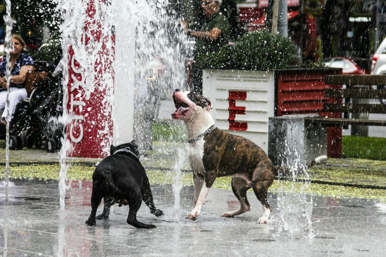 Dogs playing at water fountains in city