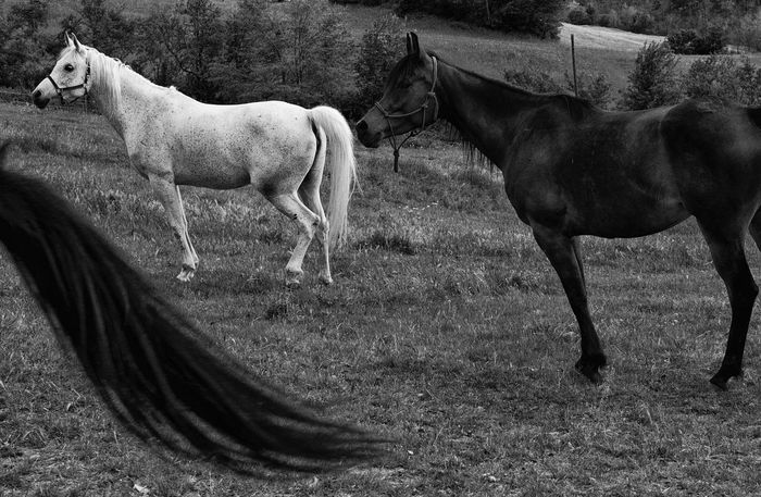 non normal photo edit of non normal horses EyeEm Best Shots EyeEm Best Shots - Black + White Field Madness Nature Tuscany Animal Themes Beauty In Nature Blackandwhite Crazy Cute Day Domestic Animals Edit Horse Imperfection Livestock Mad Mammal No People Outdoors Portfolio Shelter Stable Wrong Rethink Things