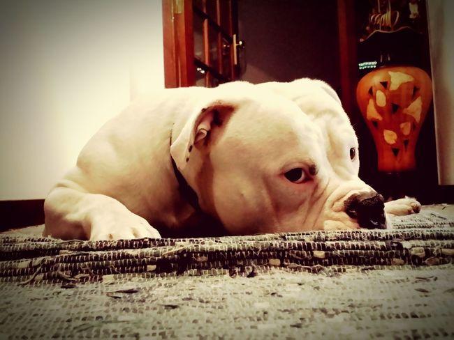 MyBoy EyeEm Bestfriend AmericanBulldog Americanbully