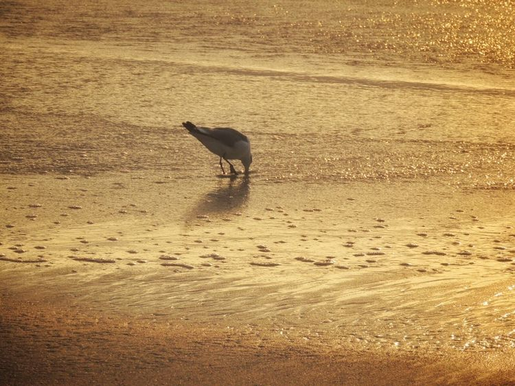 Bird On The Beach Bird At Sunset Bird Eating Golden Hour Life Is A Beach Beach Photography Sand Beach Sun Reflection On Sand Golden Moment Birds Of EyeEm  Waiting For The Sunset Simple Beauty One Animal Animal Wildlife Beauty In Nature