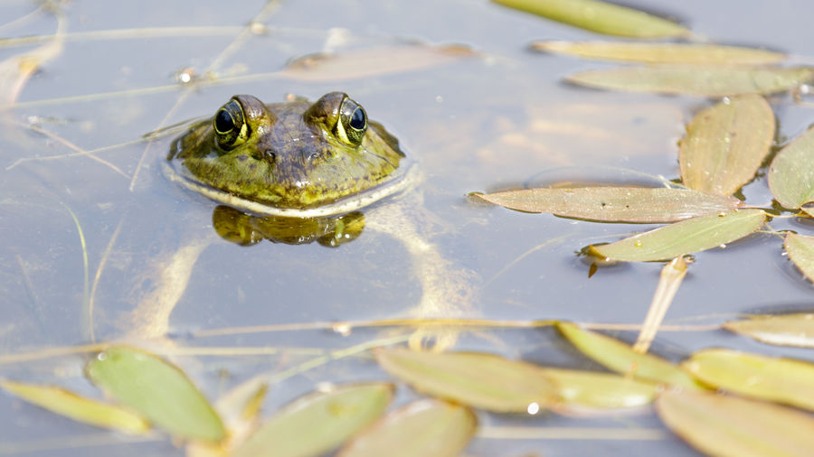 Close-up of frog in lake